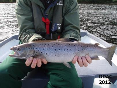 Bonnie Sea-trout from Loch Eck 2012